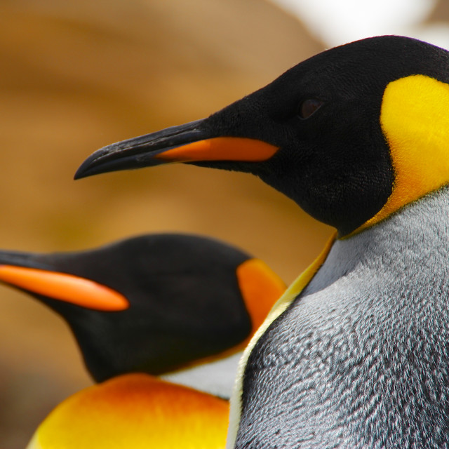 """King penguins on South Georgia Island, Antarctica"" stock image"