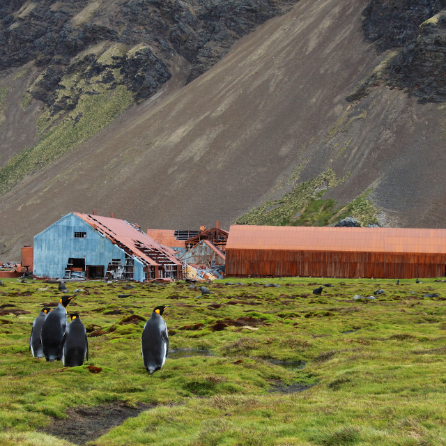 """Man meets nature, King penguins in Stromness, South Georgia, Antarctica"" stock image"