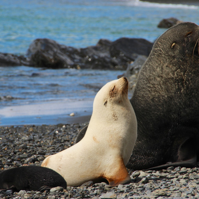 """Albino fur seal, South Georgia, Antarctica"" stock image"