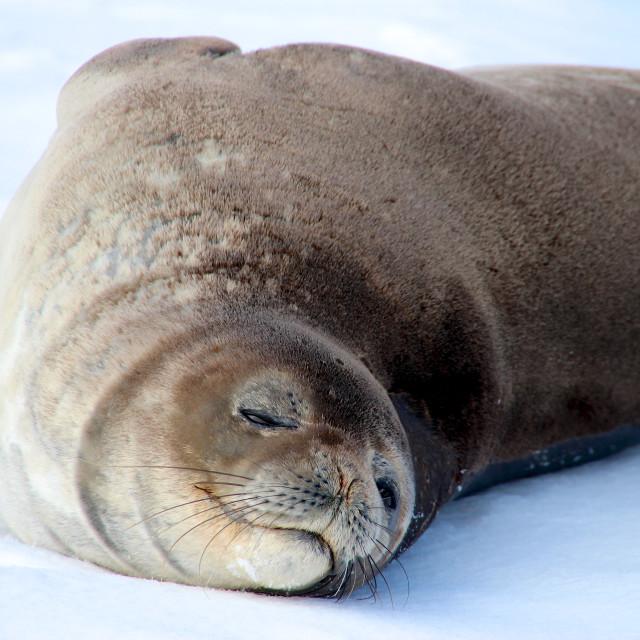 """Weddell seal, Antarctica"" stock image"