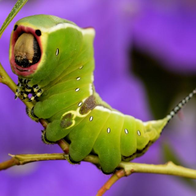 """""""A Puss moth caterpillar"""" stock image"""