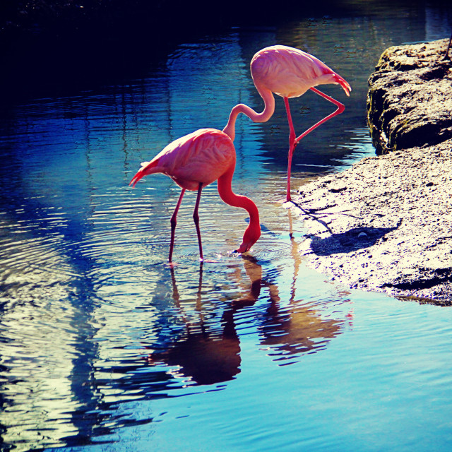 """two flamingos drinking at the pond, back light"" stock image"