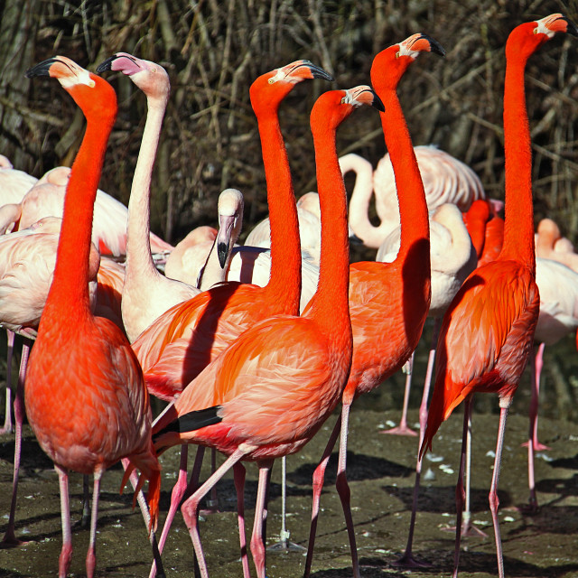 """Group of red flamingos standing alert with pink flamingos on the background"" stock image"