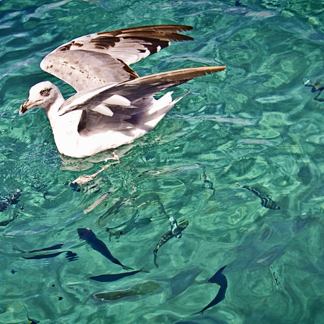 """Seagull floating on turquoise waters with fish silhouettes under the sea surface"" stock image"