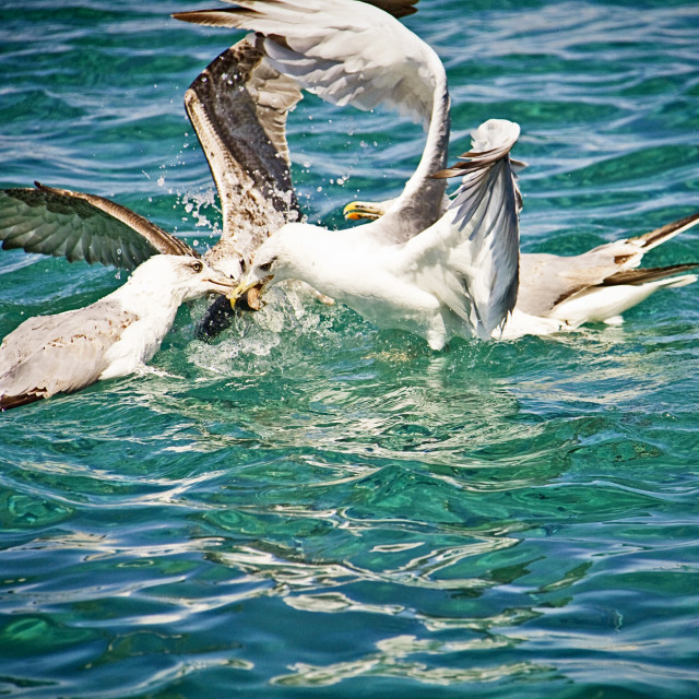 """Hungry seagulls fighting for food midair on the sea water"" stock image"