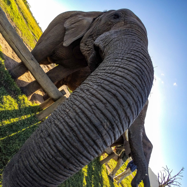 """Close-up of a funny looking elephant in South Africa"" stock image"