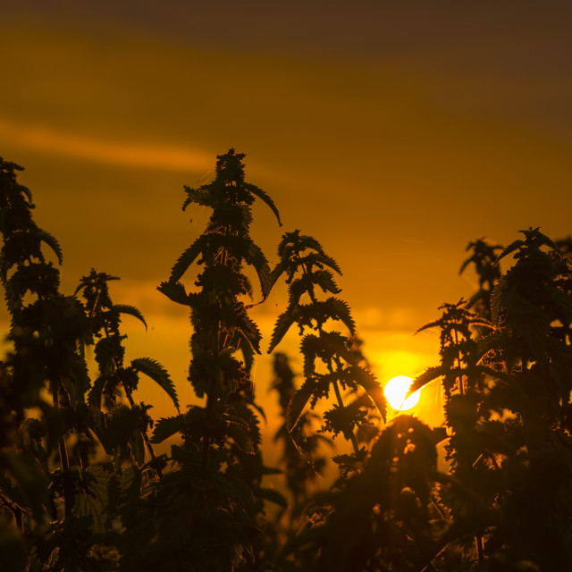 """sunset through the wild nettles"" stock image"