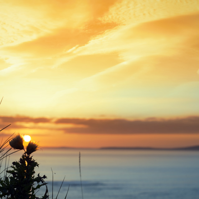 """sunset over loop head with silhouetted wild thistles"" stock image"