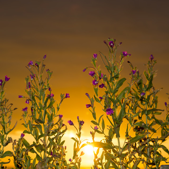 """sunset through the wild coastal flowers"" stock image"