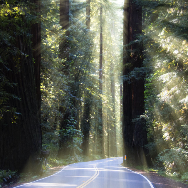 """""""Redwood trees in Avenue of the Giants, California"""" stock image"""