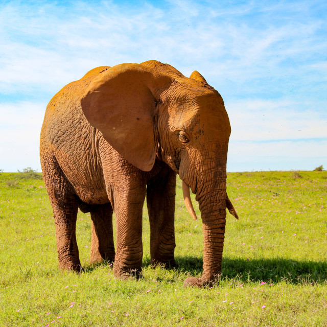 """A majestic elephant in Addo Elephant National Park, South Africa"" stock image"