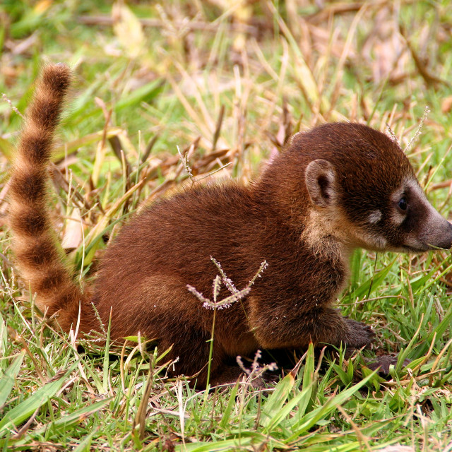 """A cute litte Coati around the ruins of Tikal in Guatemala"" stock image"