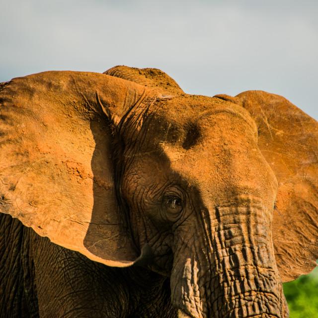 """Ellie Browsing in Tsavo East National Park"" stock image"