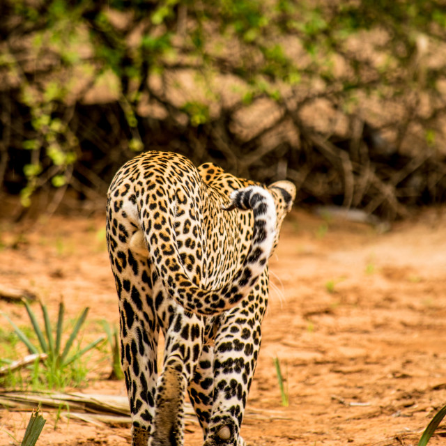 """""""The Tsavo West Cool Leopard"""" stock image"""