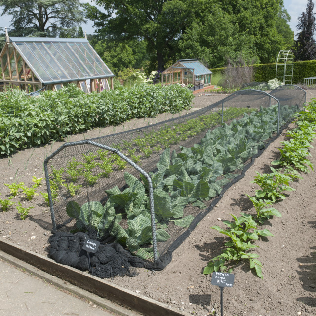 """RHS gardens Wisley Surrey. Vegetable plots with pest control nets over the cabbages."" stock image"