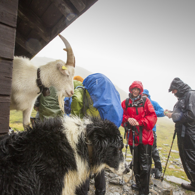 """Walkers on the Tour Du Mont Blanc share shelter from heavy rain with a goat..."" stock image"