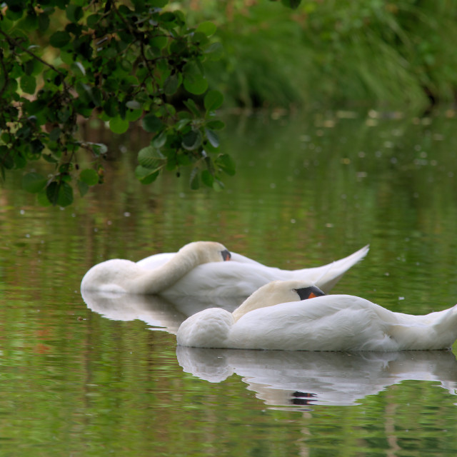 """""""Resting swans"""" stock image"""