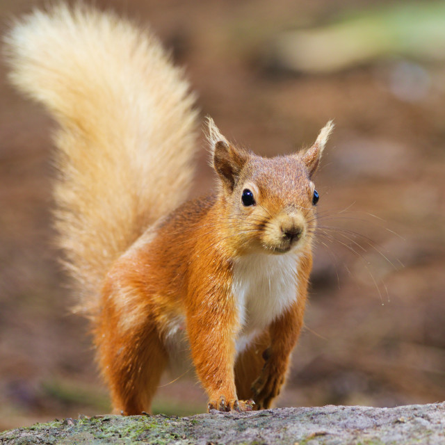 """Red Squirrel striding forward"" stock image"