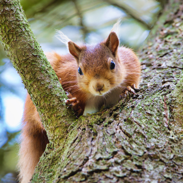 """Red Squirrel hiding"" stock image"