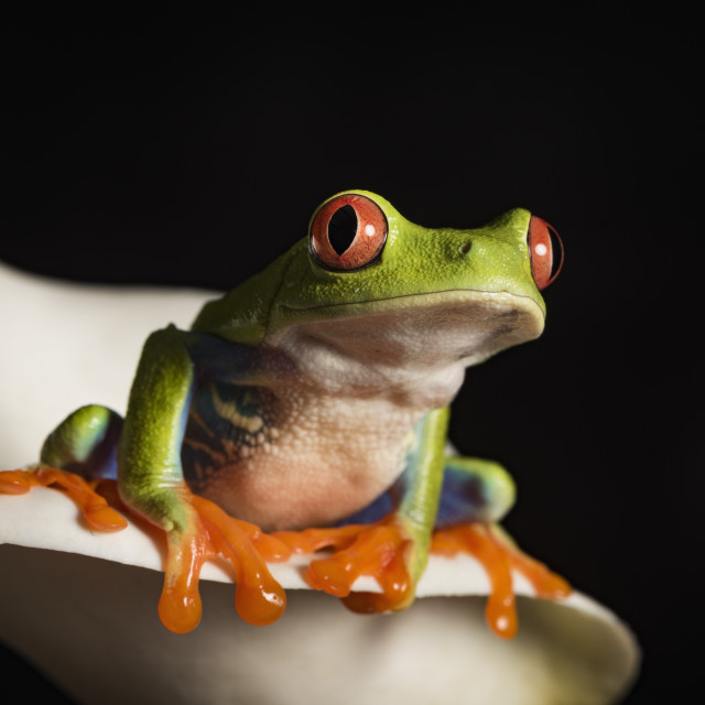 """Red Eyed Tree Frog, Agalychnis Callidryas, captive"" stock image"
