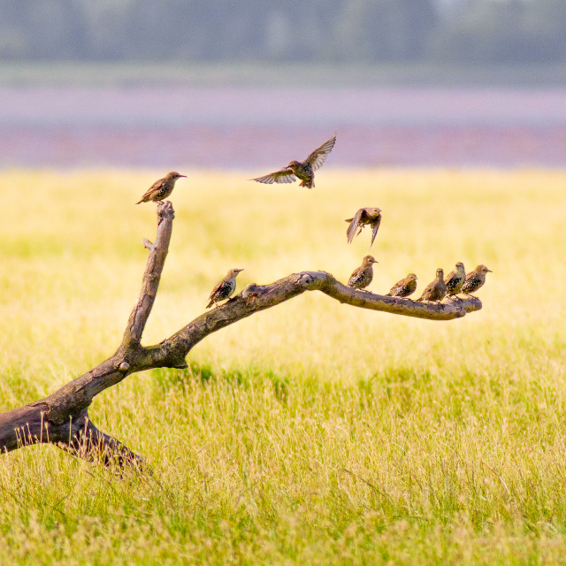 """Starlings Perching on Branch"" stock image"