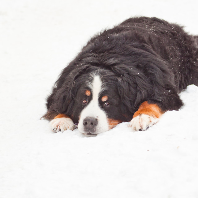 """Bernese Montain Dog in Snow"" stock image"