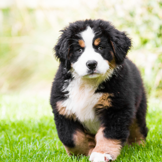 """Bernese Mountain Dog Puppy"" stock image"