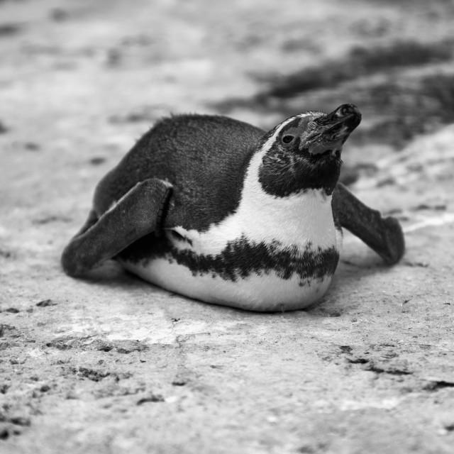 """Humboldt Penguin Prone"" stock image"