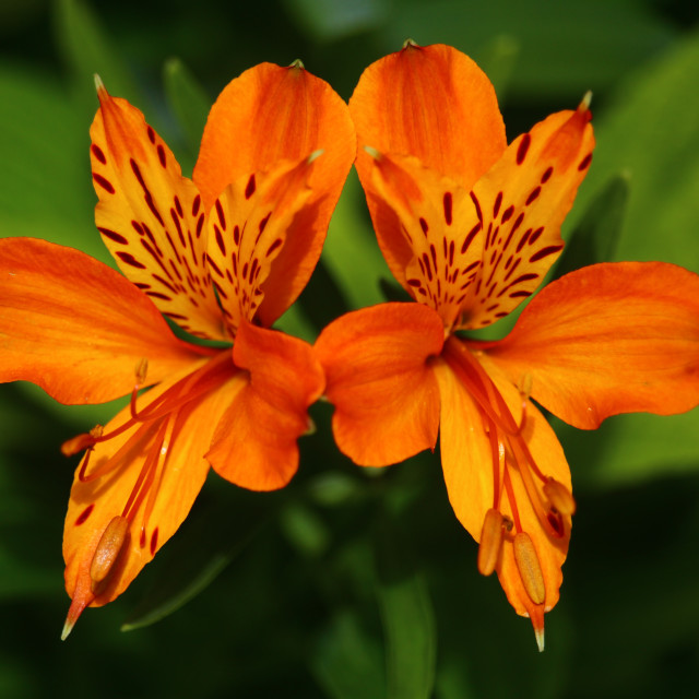 """Two Lilies"" stock image"