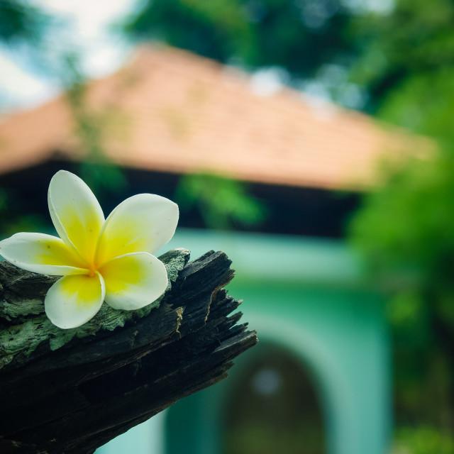 """""""Falling white plumeria flower on tree of plumeria"""" stock image"""