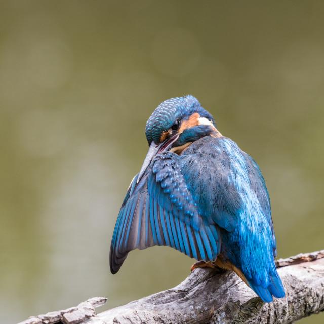 """Kingfisher"" stock image"