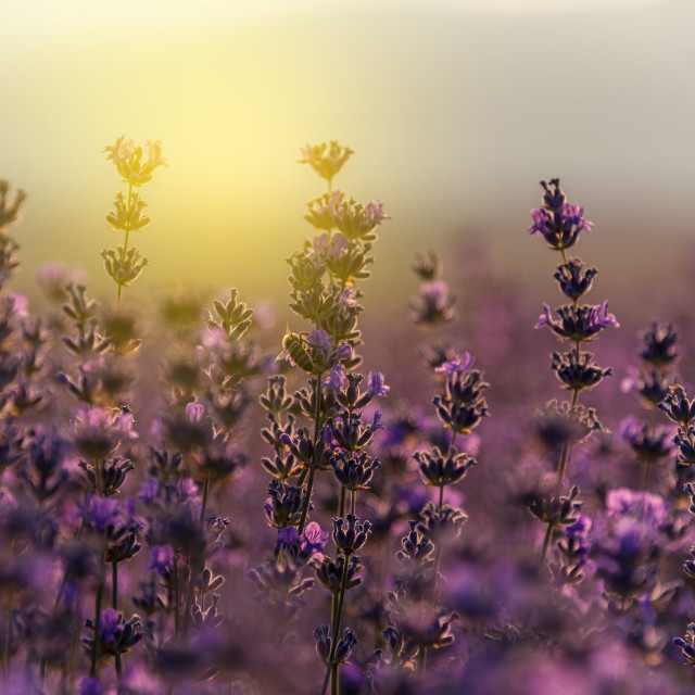 """Blooming lavender in a field at sunset"" stock image"