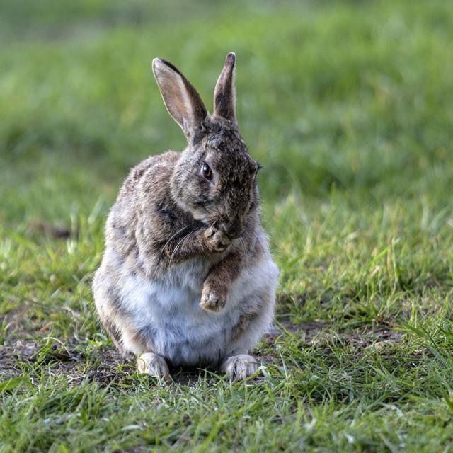 """European Rabbit Oryctolagus cuniculus"" stock image"