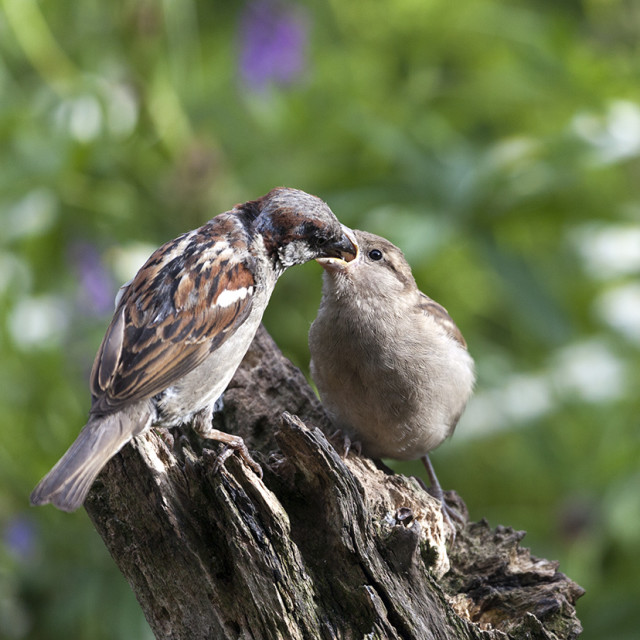 """Male House Sparrow Passer domesticus Feeding Young in Garden Env"" stock image"