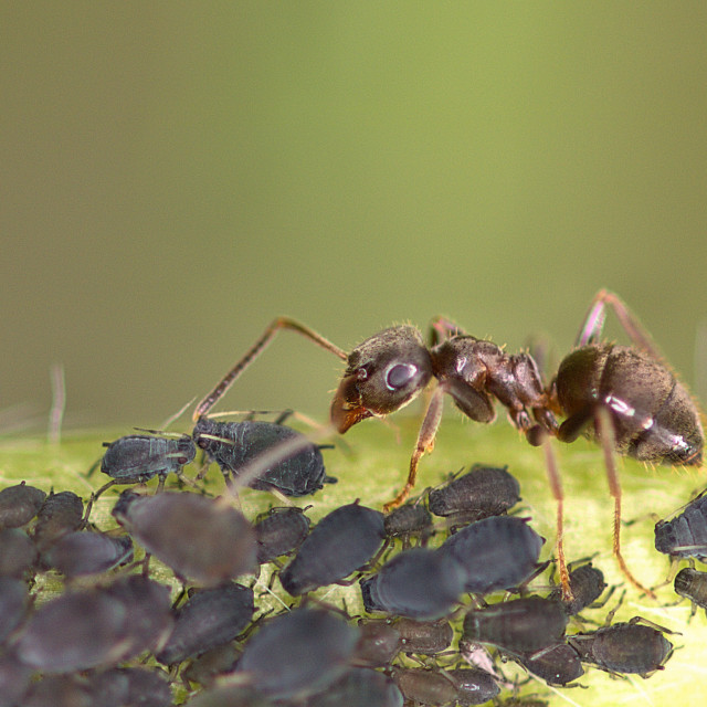 """Farmer Ant"" stock image"