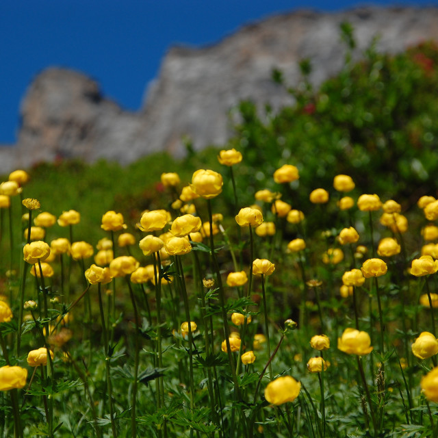 """Globeflowers"" stock image"