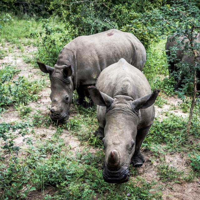 """Baby Rhinoceros"" stock image"
