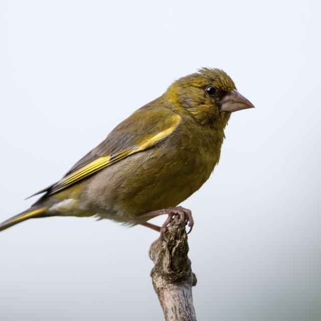 """Greenfinch Carduelis chloris"" stock image"