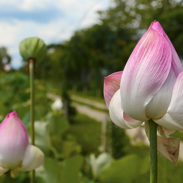 """Lotus blossoms"" stock image"