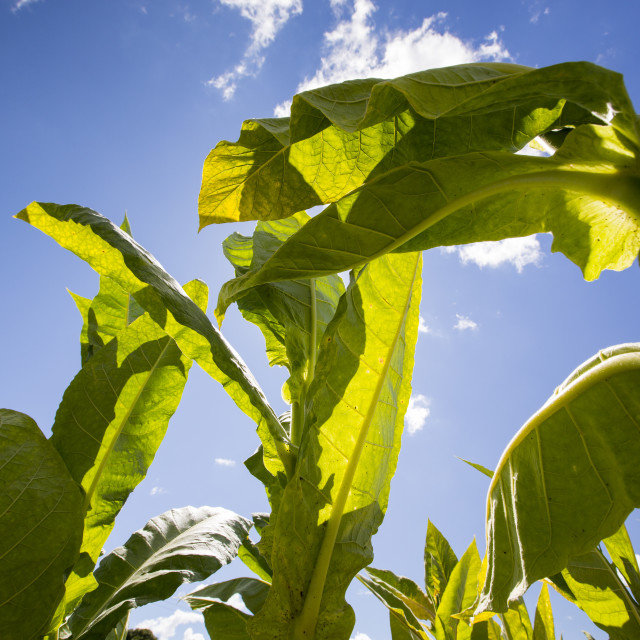 """""""Tobacco being grown as a cash crop in Malawi, Africa."""" stock image"""