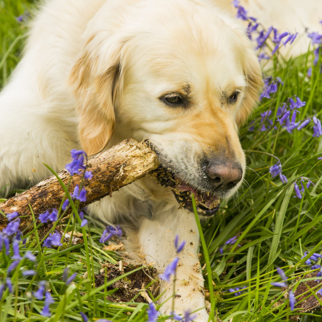 """""""A Golden Retriever dog gnawing a stick in Bluebells in Jiffy Knotts wood near..."""" stock image"""