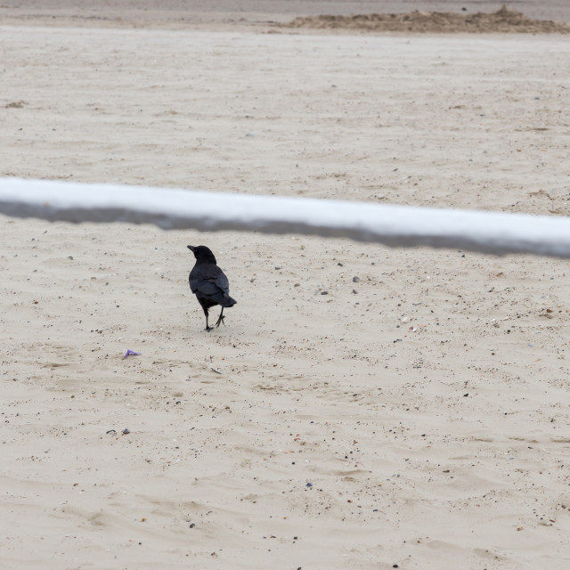 """Alone single crow proudly walks on a beach"" stock image"
