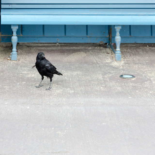 """Black crow stands next to blue vintage bench and looks straight"" stock image"