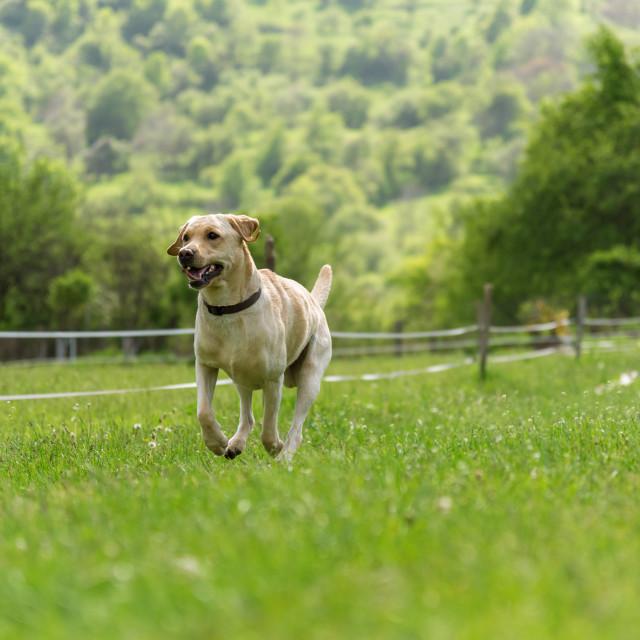 """""""Young Labrador retriever dog in run"""" stock image"""