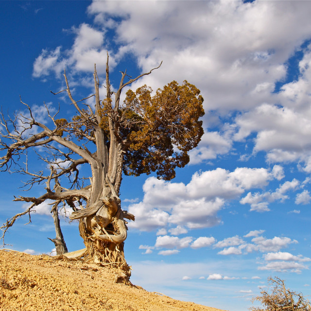 """Bristlecone Pine at Bryce Canyon"" stock image"