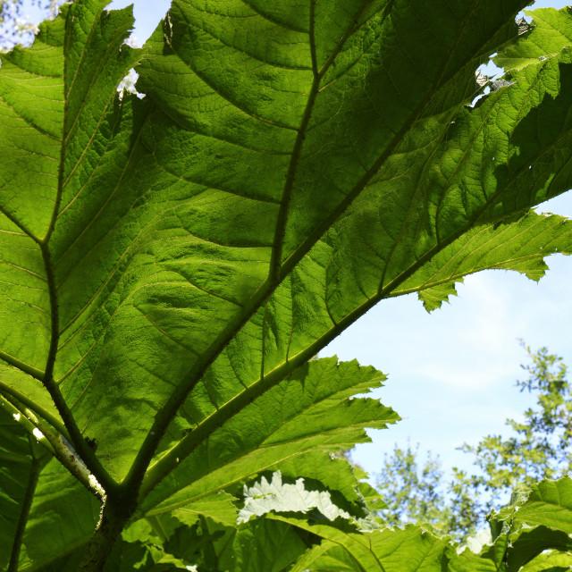 """Gunnera plant leaf."" stock image"