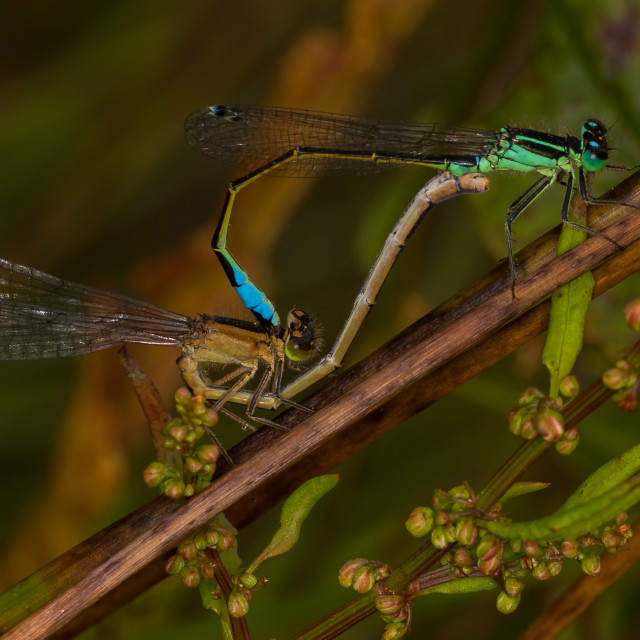 """Mating Damselflies"" stock image"