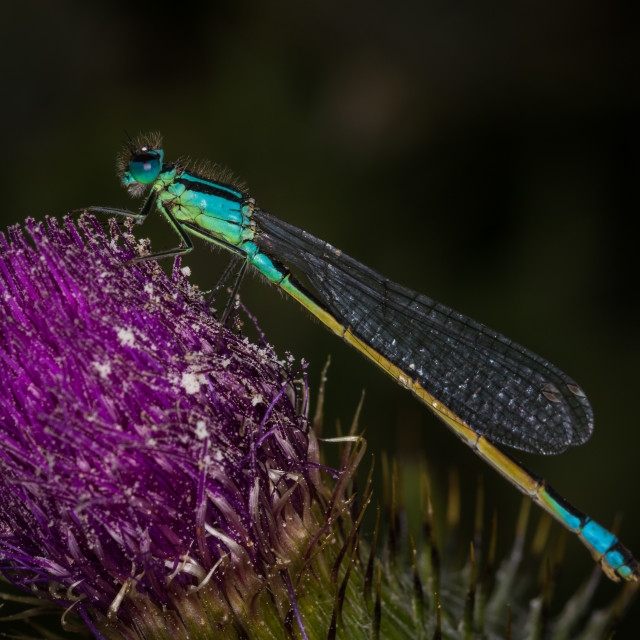 """Damselfly on Thistle"" stock image"
