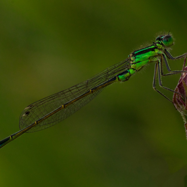 """Damselfly on Flower"" stock image"