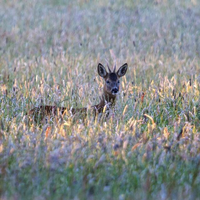 """""""European Roe Deer Capreolus Capreolus in Late Eveing Light."""" stock image"""
